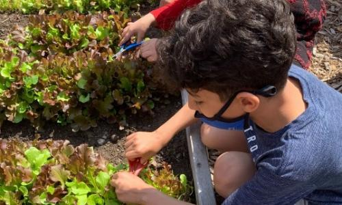 Salina student picking lettuce