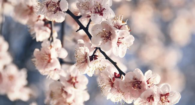 Cherry blossom branch.