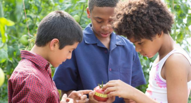 Three children measuring the circumference of an tomato.
